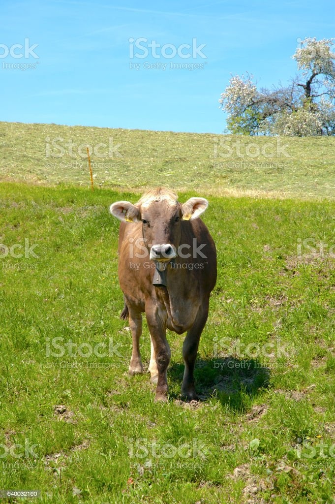Brown Swiss dairy cow, Braunvieh cow stock photo