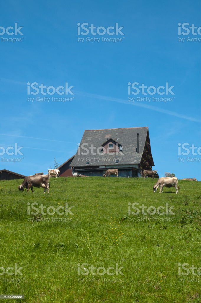 Brown Swiss dairy cows, Braunvieh cows, meadow, and home stock photo