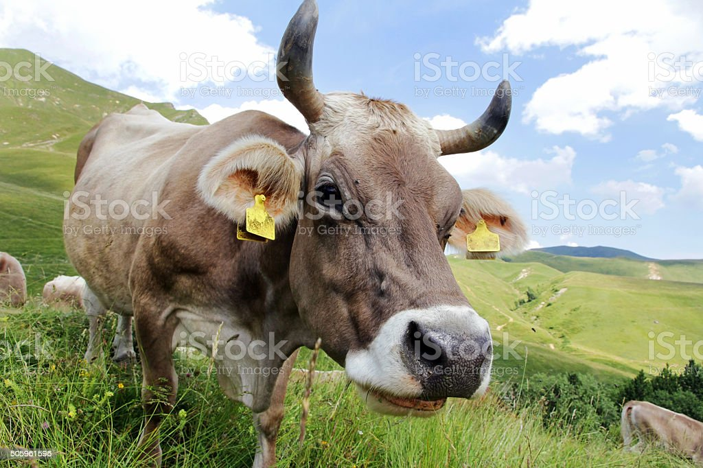 Brown Swiss with horns stock photo