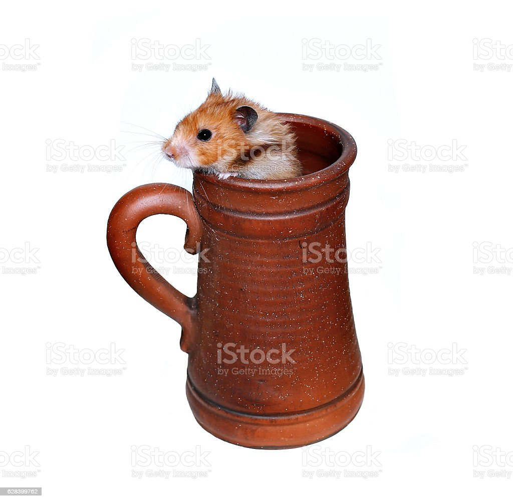 Brown Syrian hamster crawls into a large earthenware beer mug stock photo