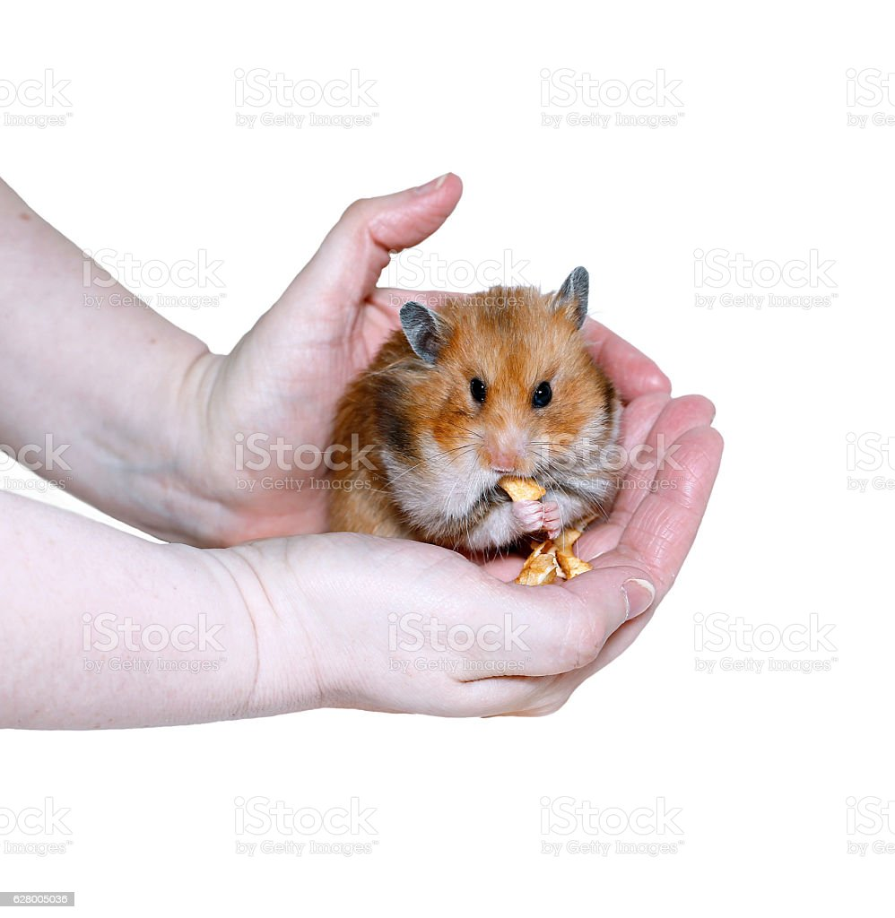 Brown Syrian hamster eating, stuffing food in cheeks stock photo