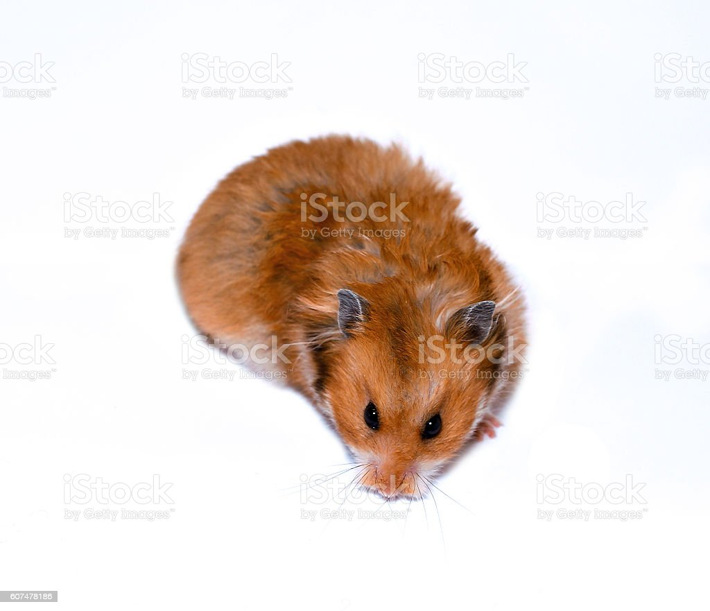 Brown Syrian hamster isolated stock photo