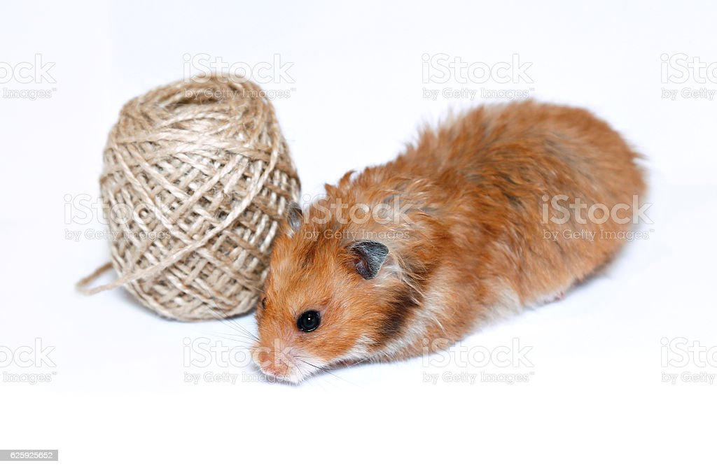 Brown Syrian hamster near coil of jute rope isolated stock photo