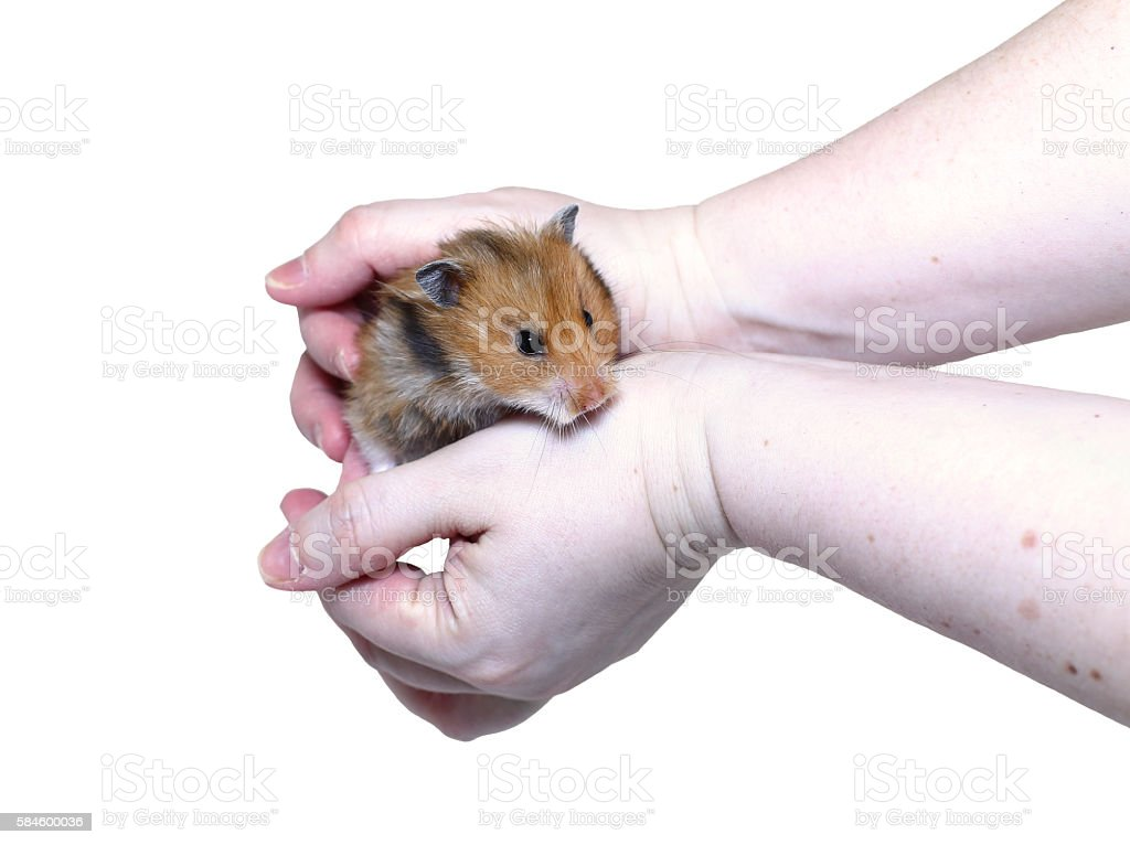 Brown Syrian hamster with filled cheeks in hands isolated stock photo