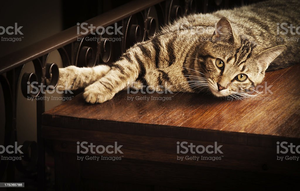 Brown Tabby Cat royalty-free stock photo