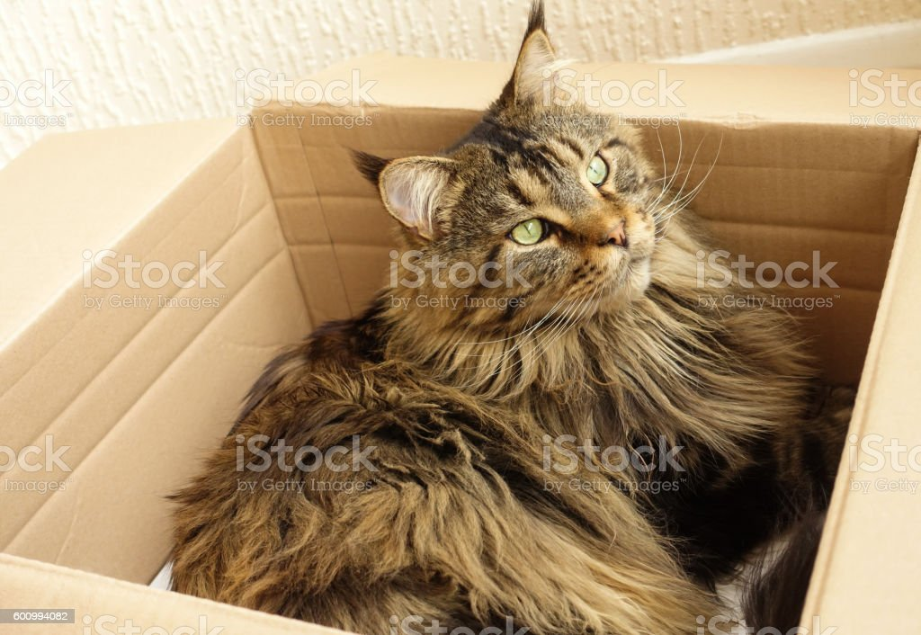Brown tabby Maine Coon cat laying in a Cardboard box stock photo