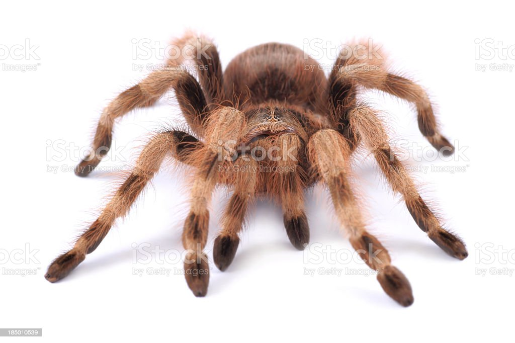 A brown tarantula against a white background stock photo