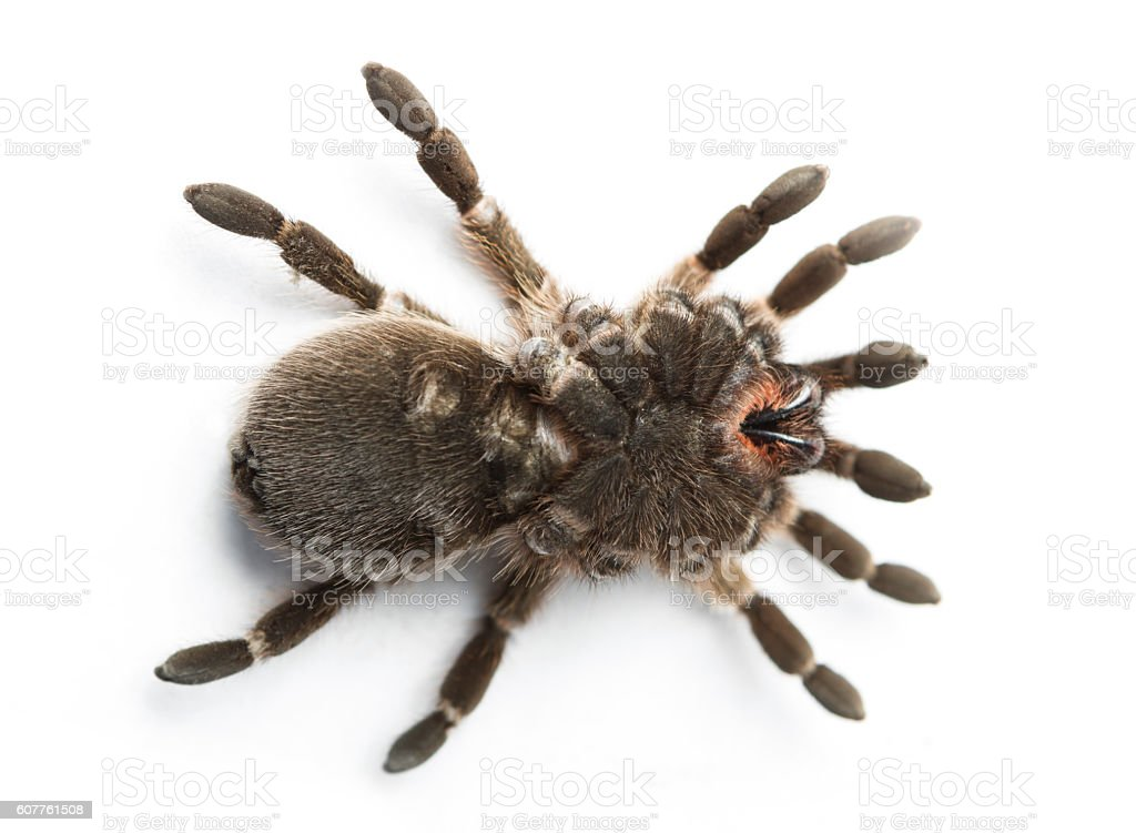 Brown Tarantula stock photo
