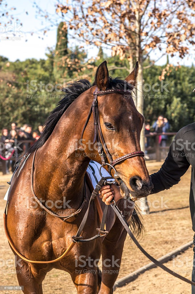 Brown thoroughbred horse warming up stock photo