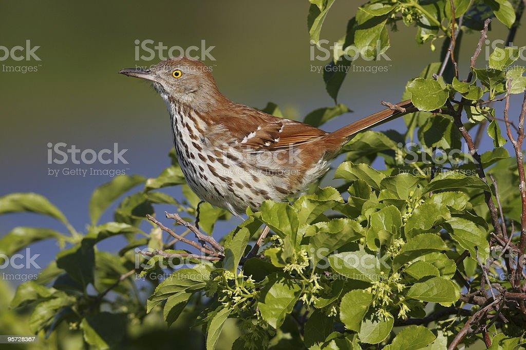 Brown Thrasher (toxostoma refum) stock photo