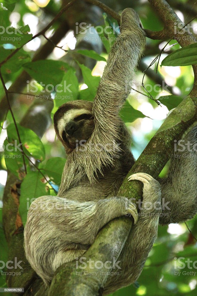 brown throated three toed sloth stock photo