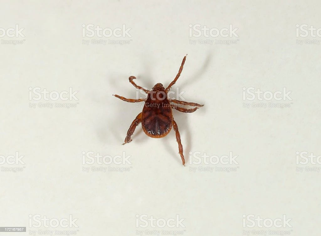 Brown Tick royalty-free stock photo