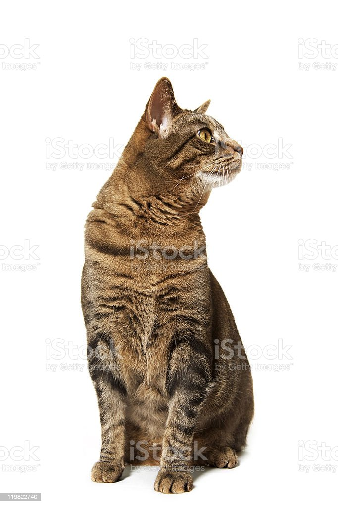 Brown tiger car sitting and looking right stock photo