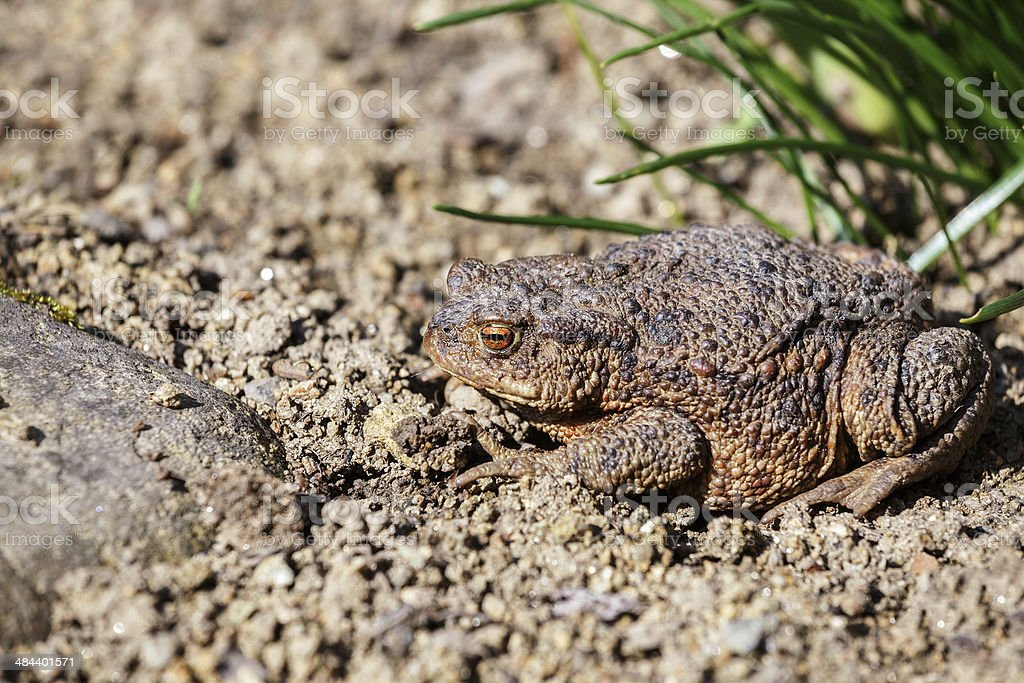 brown toad in the garden stock photo
