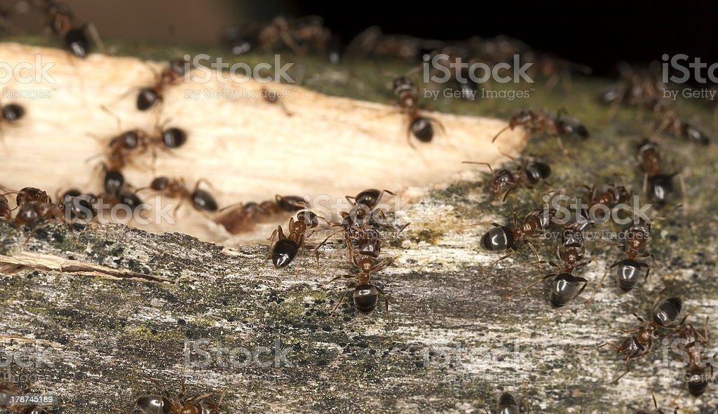 Brown tree ants, Lasius brunneus (Hymenoptera, Formicidae) royalty-free stock photo