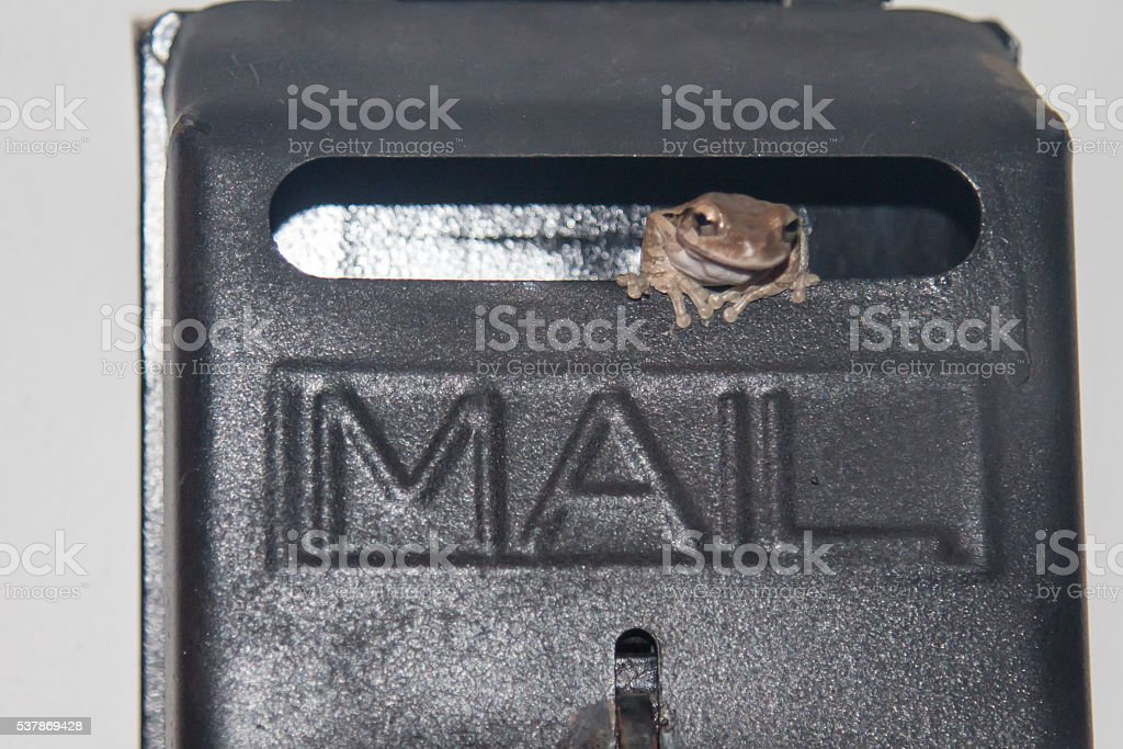 Brown tree frog in a mailbox in Belize stock photo