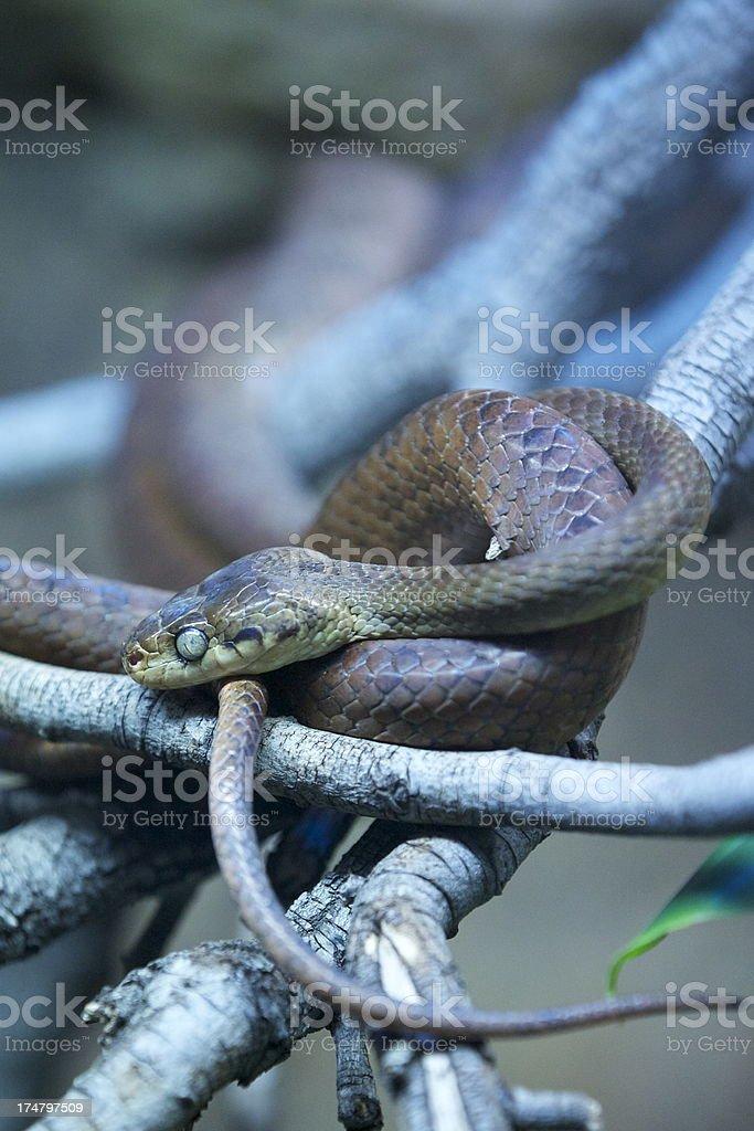 Brown tree snake royalty-free stock photo