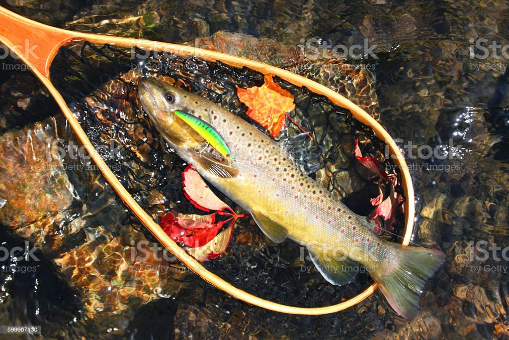 Brown Trout 444 stock photo