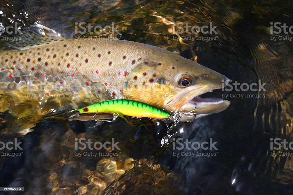 Brown Trout 541 stock photo
