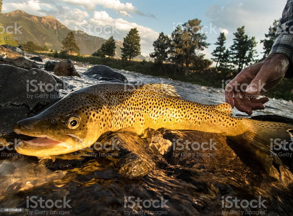 Brown Trout Being Released Back Into river. stock photo