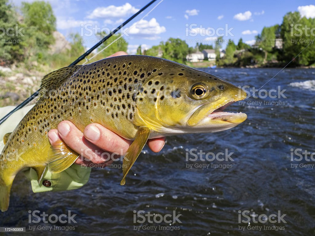 Brown Trout Caught on Mountain Stream royalty-free stock photo