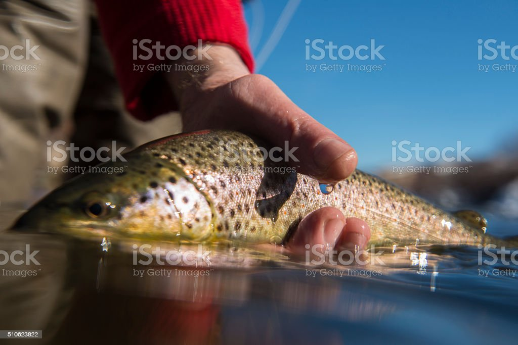Brown trout caught while fly-fishing stock photo