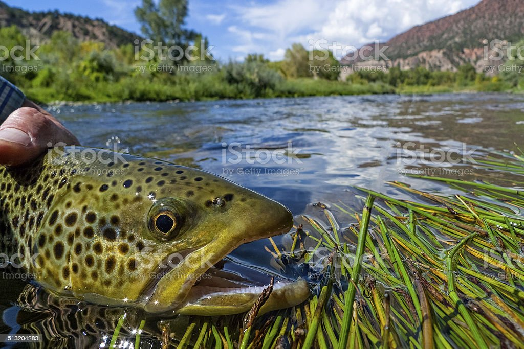 Brown Trout Fly Fishing Closeup stock photo