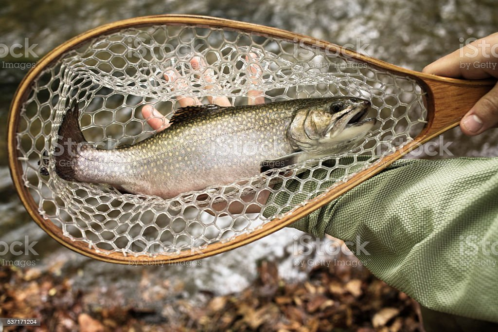 brown trout held in net over river caught fly fishing stock photo