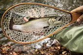 brown trout held in net over river caught fly fishing