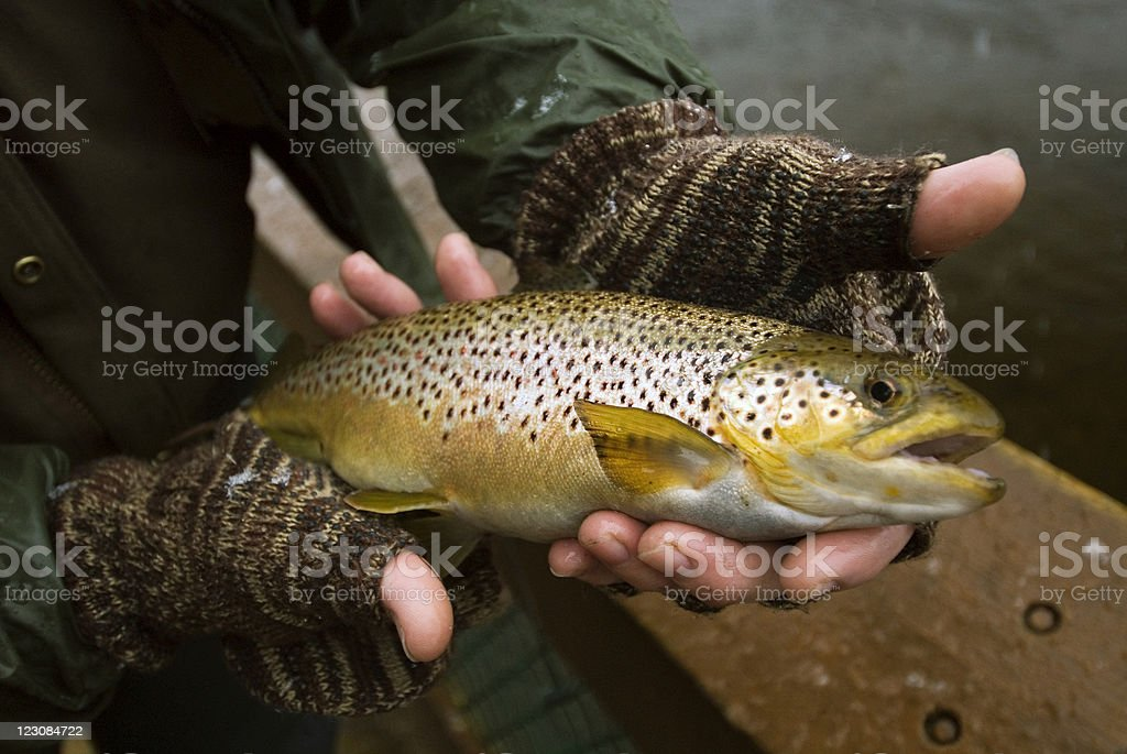 Brown Trout in Fisherman's Hands royalty-free stock photo