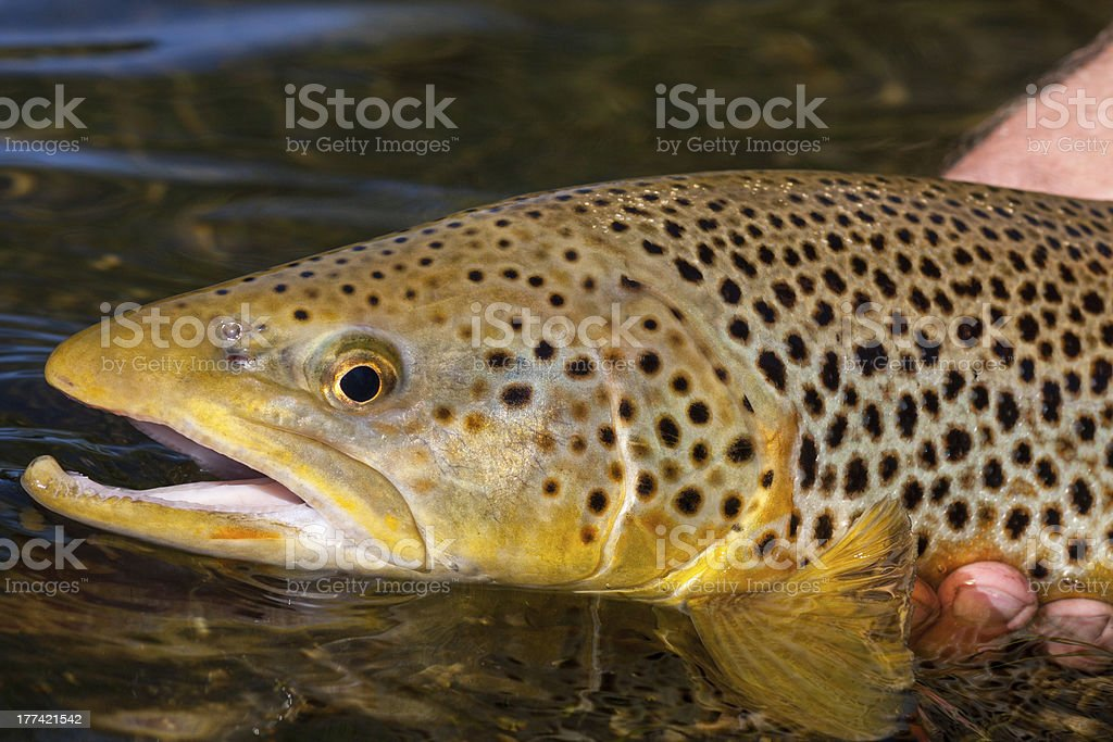 Brown Trout In Spawning Colors royalty-free stock photo