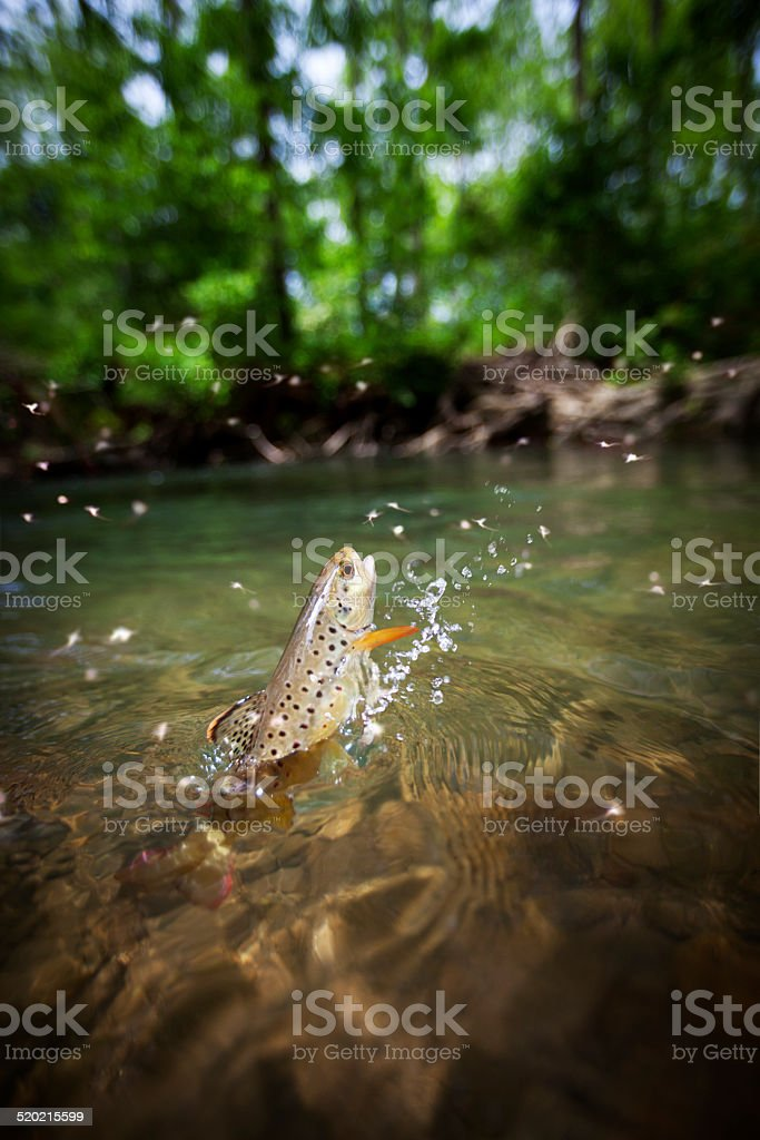 Brown trout jumping out of the water stock photo