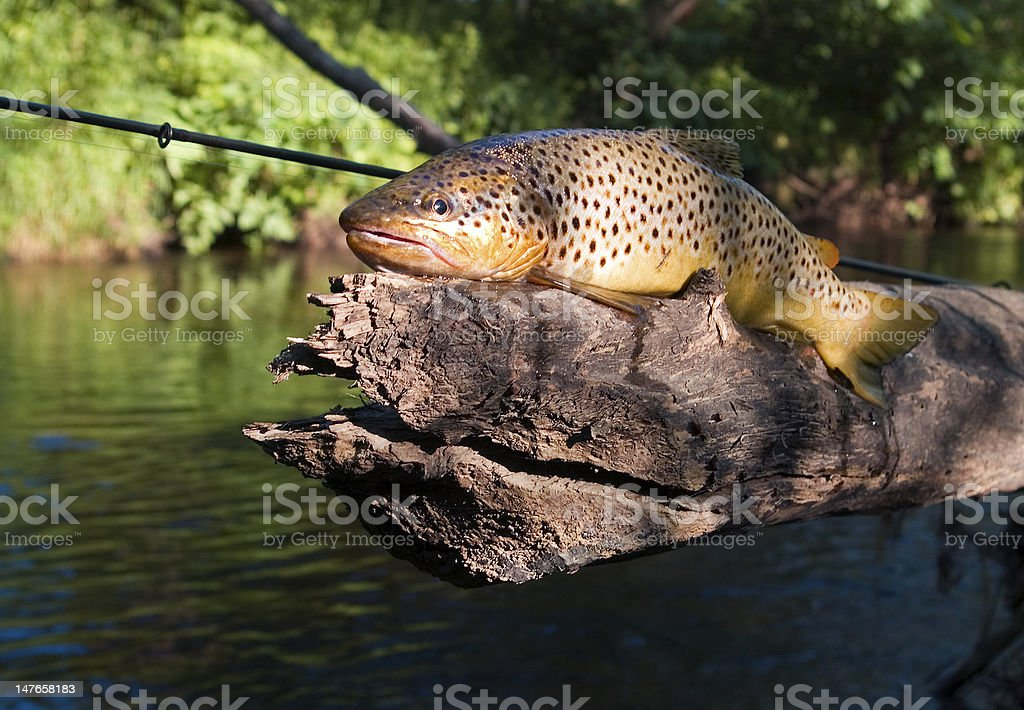 Brown trout (Salmo trutta fario) royalty-free stock photo