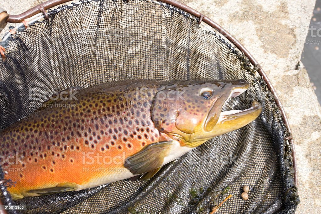 Brown trout stock photo