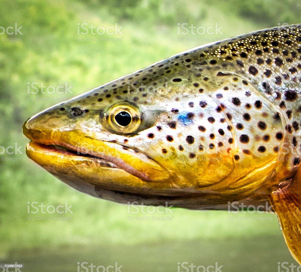 Brown Trout Profile stock photo