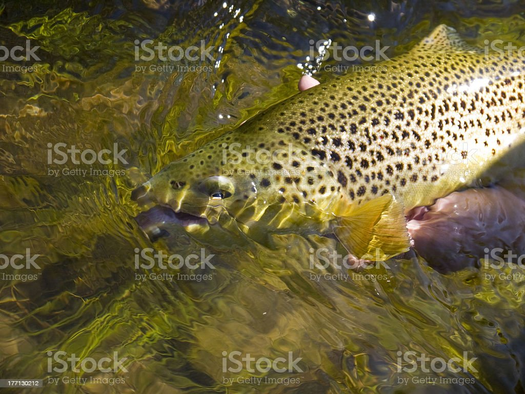 Brown Trout release royalty-free stock photo