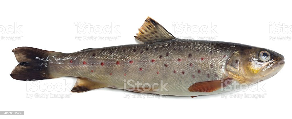 Brown trout, Salmo trutta fario isolated on white background stock photo