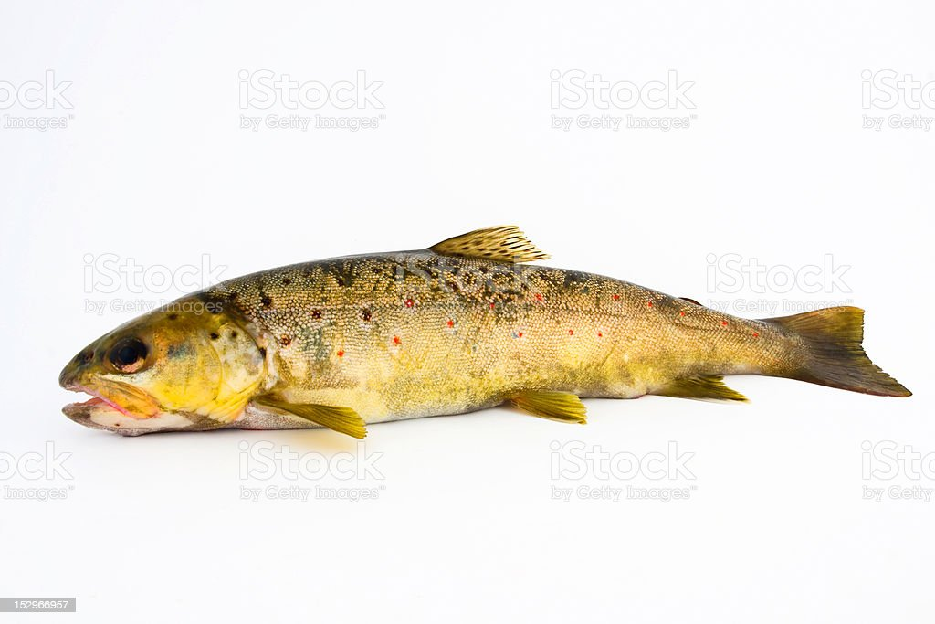 Brown trout - salmo trutta royalty-free stock photo