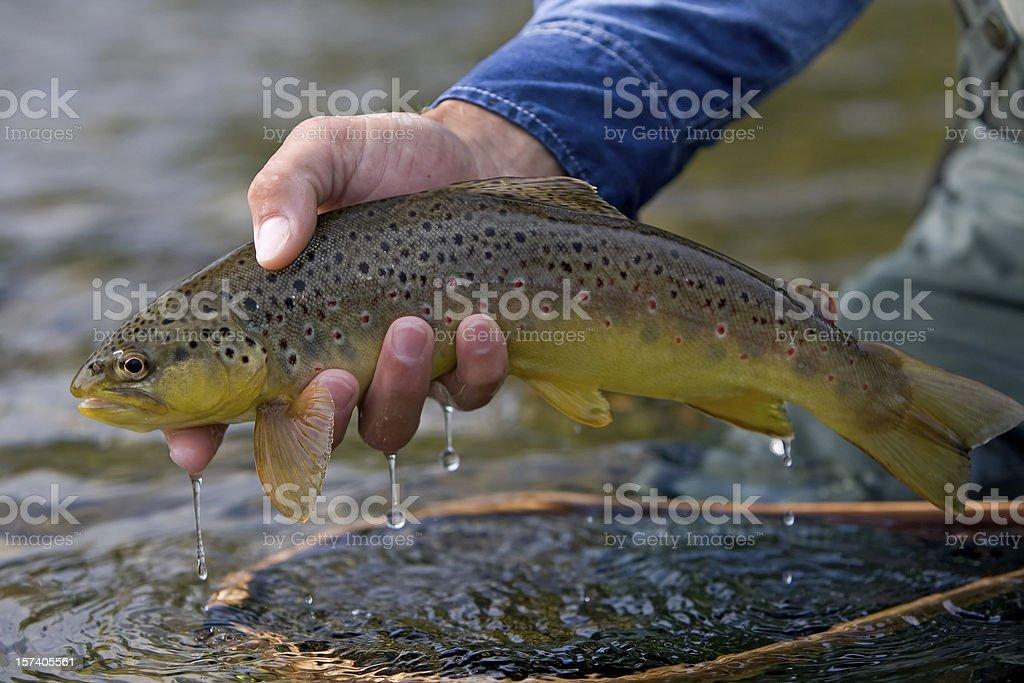 Brown Trout, Salmo trutta royalty-free stock photo
