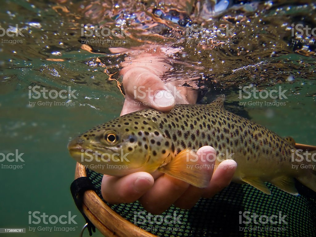 Brown Trout, Salmo trutta royalty-free stock photo