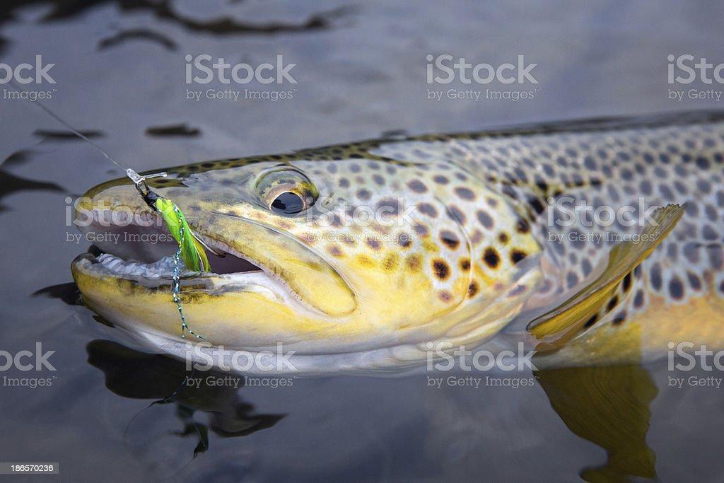 Brown Trout - Salmo trutta royalty-free stock photo