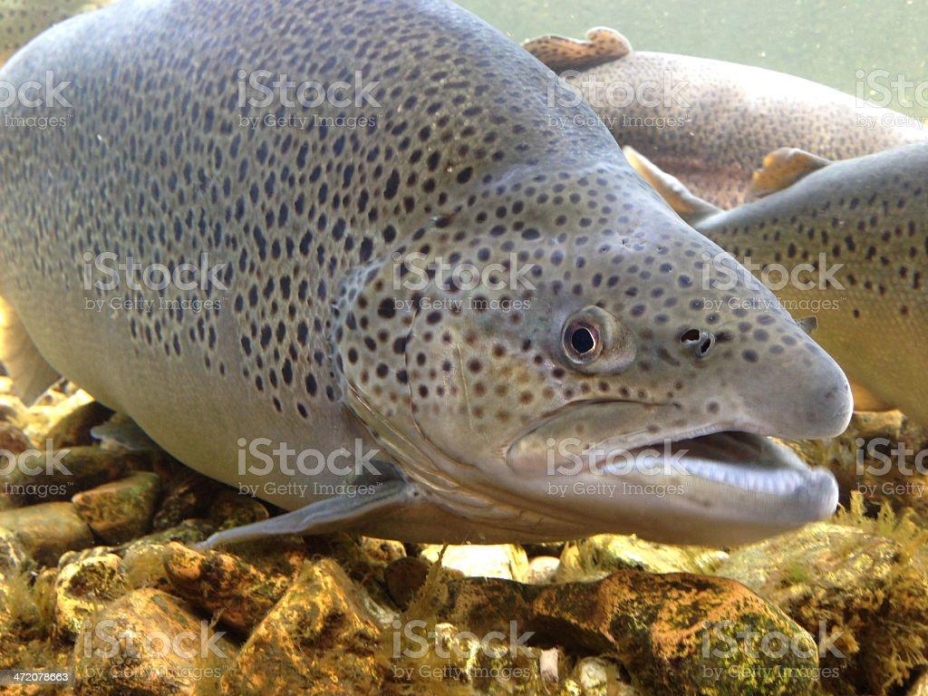 brown trout  Salmo trutta stock photo