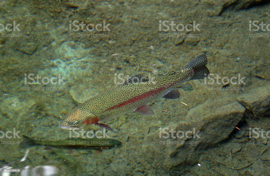Brown trout swimming in a clear rocky pool stock photo