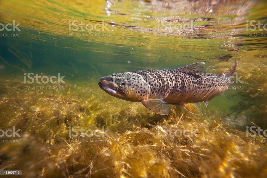Brown trout underwater in stream stock photo