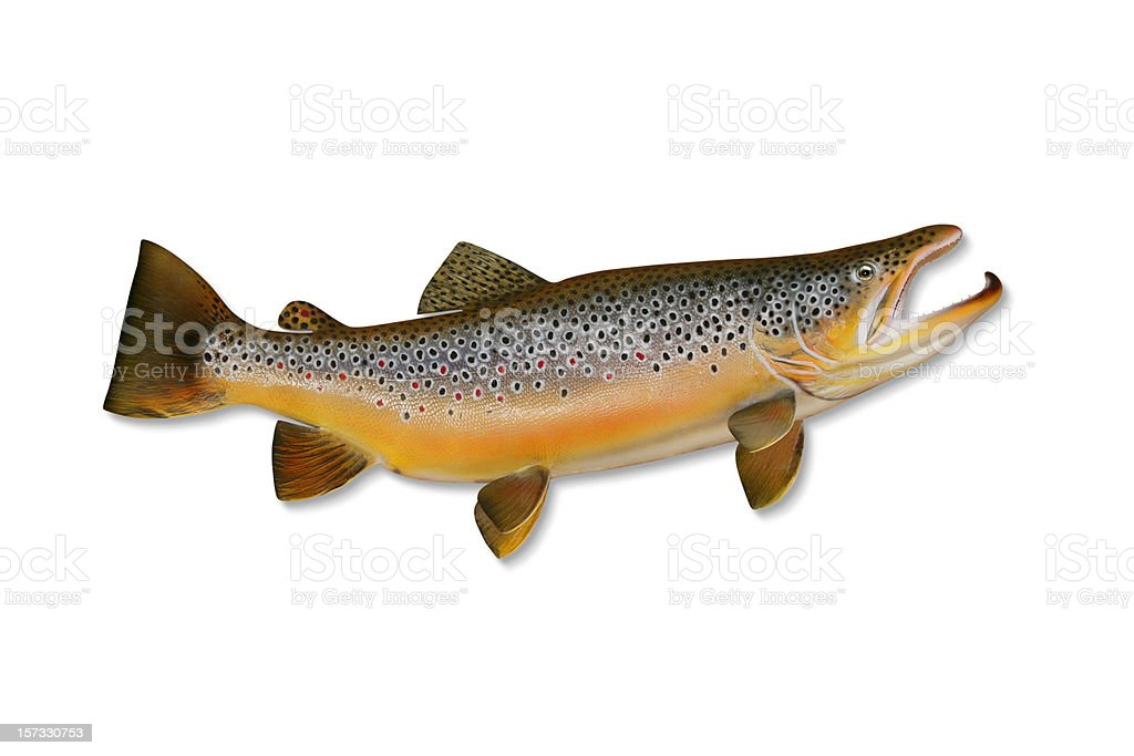 Brown Trout with Clipping Path royalty-free stock photo