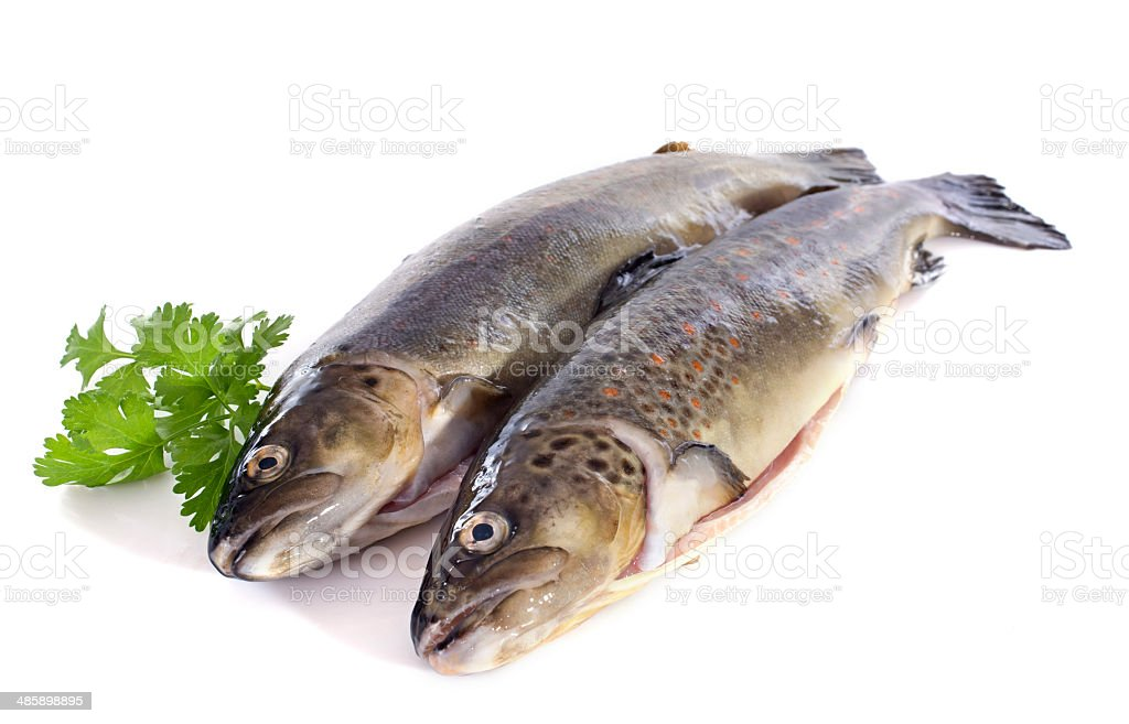 Brown trouts royalty-free stock photo