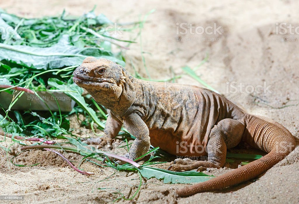 Brown varan on the sand. stock photo