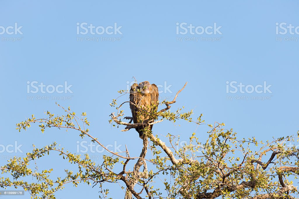 Brown Vulture perched on Acacia tree branch stock photo