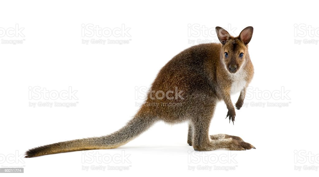Brown wallaby looking at camera and isolated in white stock photo