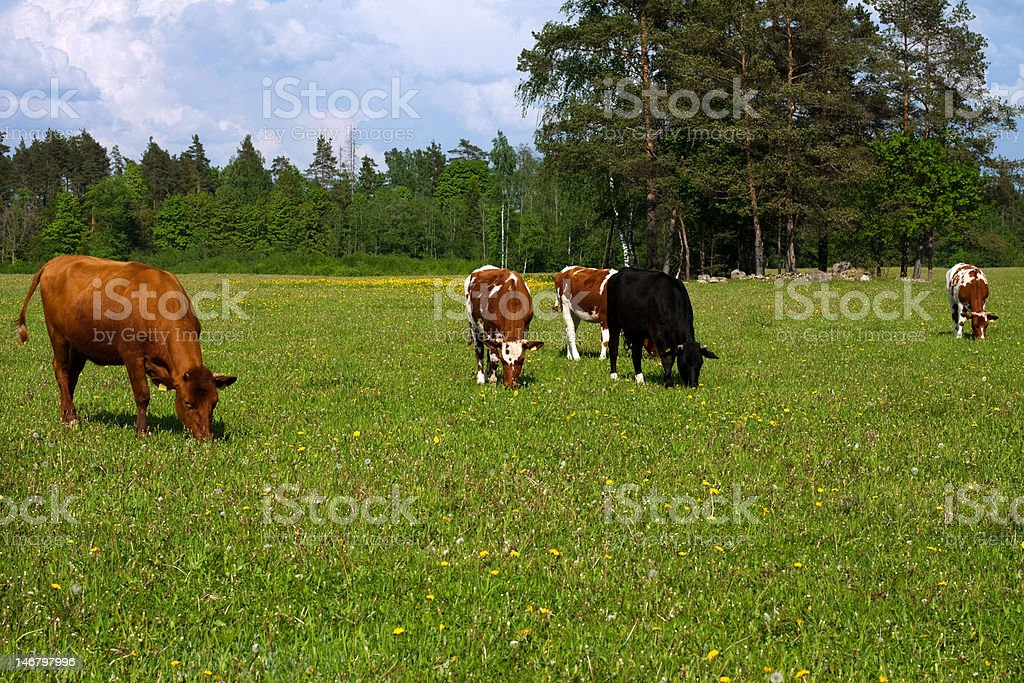 Brown  white cow , bovine royalty-free stock photo